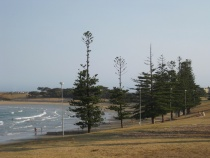 Pine trees in Torquay