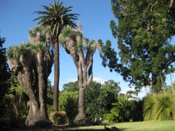 Some amazingly contrastingly tall trees in Adelaide's Botanical Gardens