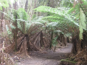 Tall Trees Walk in Mt Field National Park