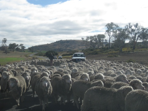 Sheep on the road!