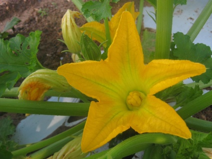 The Zuchinni flower