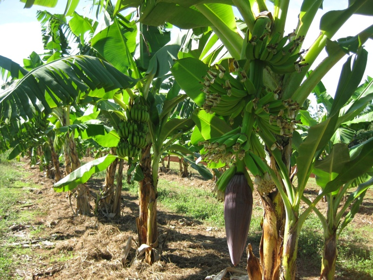 Banana Trees about to produce lots of bananas!