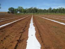 Plastic laid for growing vegetables in