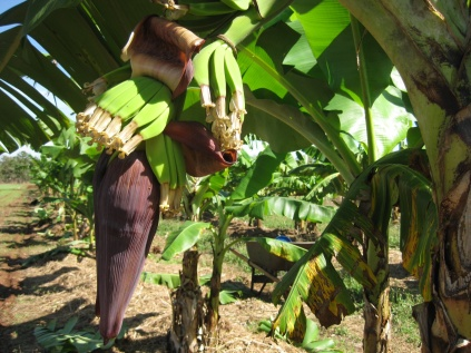 Bananas growing from the bud