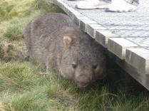 A very cute wombat