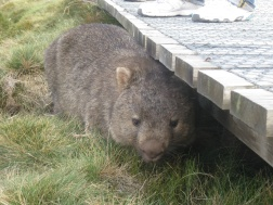 A very cute wombat