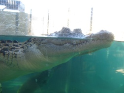 Crocodiles in the water!