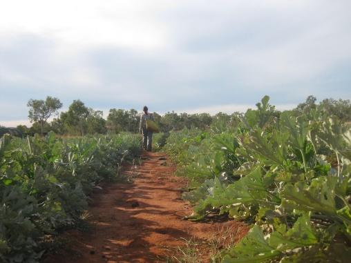 Zucchini picking