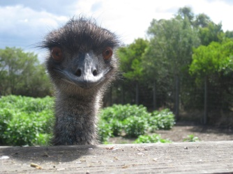 Emu's popping up to say hi
