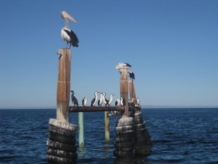 Pelicans on Kangaroo Island
