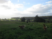 Chickens on the hills