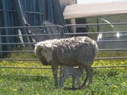 A mother and lamb