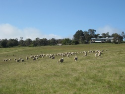 Sheep to be mustered!