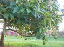 Avocados just hanging around!