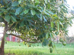 Avocados just hanging around!
