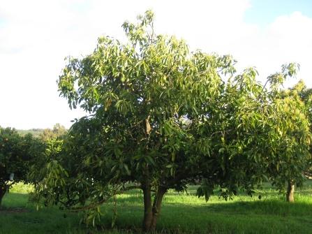 Avocado Trees!