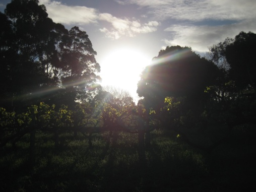 Grapevines at Sunset