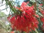 Red Bottlebrush flowers