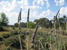 Two different types of lavender