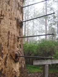 Gloucester Tree's ladder
