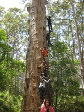 The Gloucester Tree