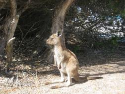 Kangaroos on Lucky Bay