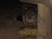 Possums stealing spaghetti!