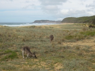 Kangaroos enjoying the beach