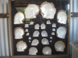 Various sizes of mother of pearl