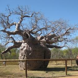 Boab Prison Tree