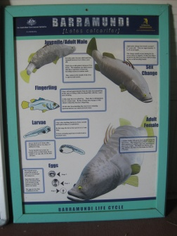 Barramundi life cycle