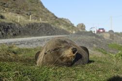 Seal snoozing